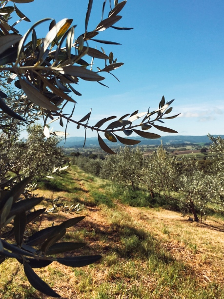 Landscape of an olive grove farm in Paso Robles, California.